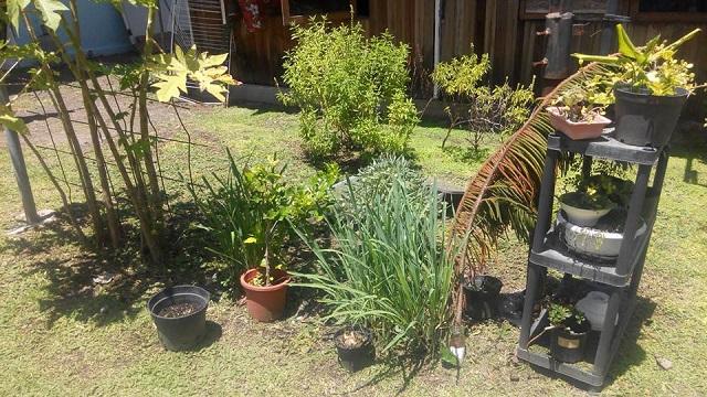 Daniel Touama, connu sous le nom Johnjohn Arnold Alexandre sur Facebook, cultive de nombreuses plantes pour réaliser des mono'i médicinaux.