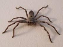 Australie: le cadavre d'une araignée gît sur les lieux du crime