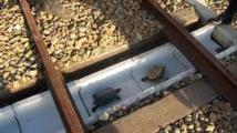 Les cheminots du Japon au secours des tortues téméraires