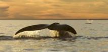 Les baleines face au fléau du réchauffement climatique