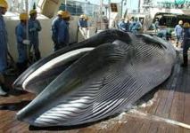 Australie: Le Premier ministre évoquera au Japon la reprise de la pêche baleinière