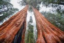 Des dizaines de millions de grands arbres menacés par la sécheresse en Californie