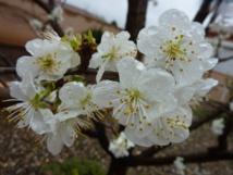 Pruniers en fleurs à Milan, oeufs frais en Ecosse: la météo clémente déboussole faune et flore