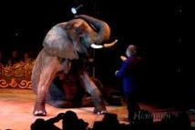 Accusé de maltraitance, le cirque Bouglione retire son numéro avec une éléphante âgée