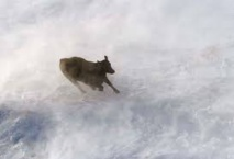 USA: 15.000 vaches laitières tuées par le blizzard au Texas