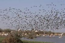 Grippe aviaire : oiseaux sauvages et domestiques, des liaisons dangereuses