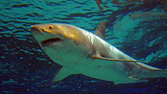Ce grand requin blanc n'a pas supporté la vie en aquarium. | Photo: AFP