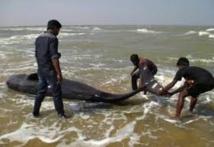 Inde: 45 baleines retrouvées échouées sur une plage du sud