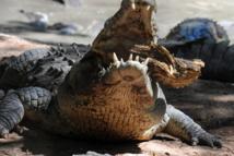 Un crocodile arrache la main d'une femme en Australie