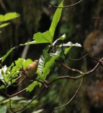 Le monarque de Tahiti, une espèce protégée et en voie de disparition