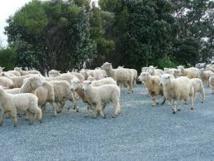 """Nouvelle-Zélande: une fin de cavale trop """"bêête"""""""