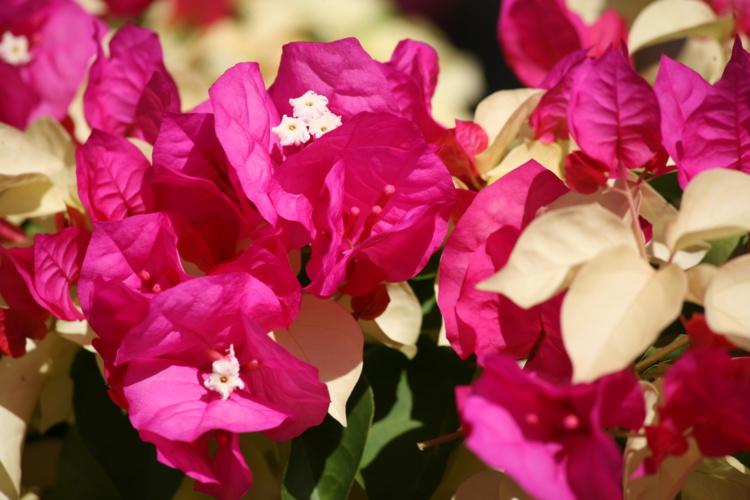 """Commerson dédia l'une des plus belles fleurs tropicales à Bougainville, en baptisant """" Buginvillaea"""" sa découverte lors de l'escale à Rio de Janeiro. Pour se faire pardonner ?"""
