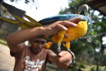 Indonésie: des milliers d'oiseaux exotiques menacés dans des forêts pillées