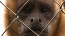 """Des chercheurs chinois créent des singes """"autistes"""""""
