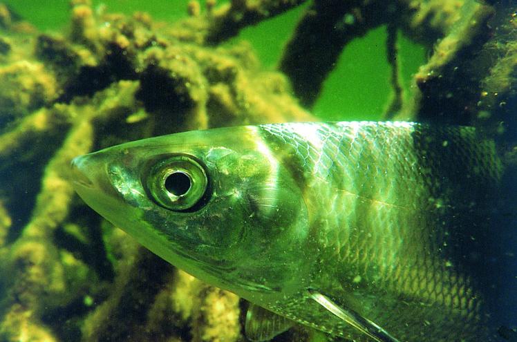 """Gros plan sur la bouche d'un chanos chanos, située en dessous de sa tête, ce qui met en évidence ses moeurs de poisson fouilleur et """"brouteur""""."""