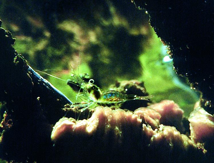 Des crevettes presque totalement transparentes vivent dans les mares à kopara. Parfois elles y pullulent. Attirez-les avec l'abdomen d'un bernard l'hermite.