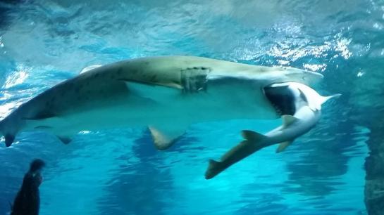 Le requin-taureau devrait finir par régurgiter son camarade.  AFP/COEX AQUARIUM