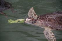 Atteintes de tumeurs, des tortues marines remplissent un hôpital de Floride