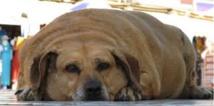 Trop de chips: l'obésité des animaux de compagnie inquiète au Royaume-Uni