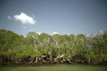 La mangrove témoigne de la résilience des coraux face au réchauffement