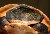 Une nouvelle espèce de tortue découverte en Papouasie