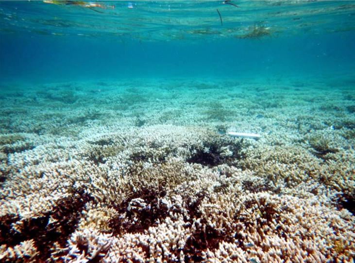 Les coraux branchus en eau  peu profonde sont fortement touchés : à l'îlot Maître, les Acropora montrent un blanchissement étendu (échelle 20 cm). © IRD / F. Benzoni.