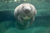 USA: un nombre record de lamantins en Floride