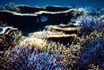 Les récifs de Nouvelle-Calédonie menacés par un épisode de blanchissement massif