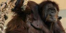 Des orangs-outans brûlés vifs en Indonésie