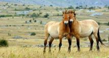 Autrefois au bord de l'extinction, le dernier cheval sauvage du monde de retour en Russie
