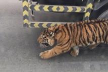 Qatar: un tigre en liberté dans les rues de Doha
