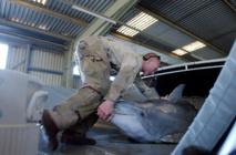 L'armée russe veut acheter cinq dauphins de combat