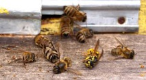 """Abeilles: Appel aux députés pour une interdiction des pesticides """"tueurs d'abeilles"""""""