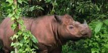 Indonésie: premier contact depuis des décennies avec un rhinocéros rare à Bornéo