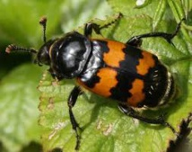 Le tue-l'amour d'une scarabée très mère poule