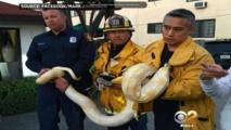 Chassé d'un restaurant, il se fâche et lâche un python géant