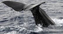 Japon: retour des chasseurs de baleines de l'Antarctique, 333 cétacés tués