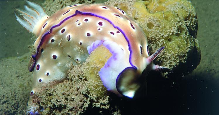 """Les bêtes à cornes qui hantent le """"Nordby"""" : des nudibranches, petits mollusques sans coquille, mais très toxiques."""