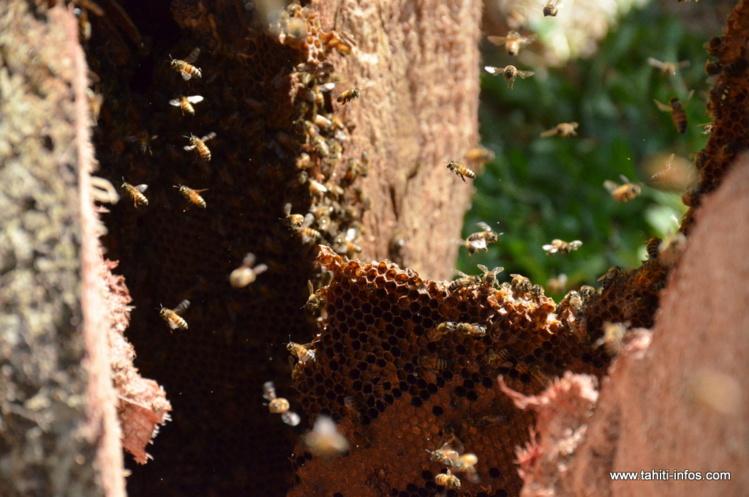Ultime leçon de cette formation : la technique pour se servir dans une colonie d'abeilles sauvages afin d'initier une activité apicole.