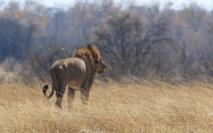 Le lion sud-africain en cavale repris vivant
