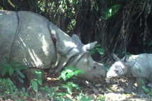 Mort d'un rhinocéros rare récemment découvert en Indonésie