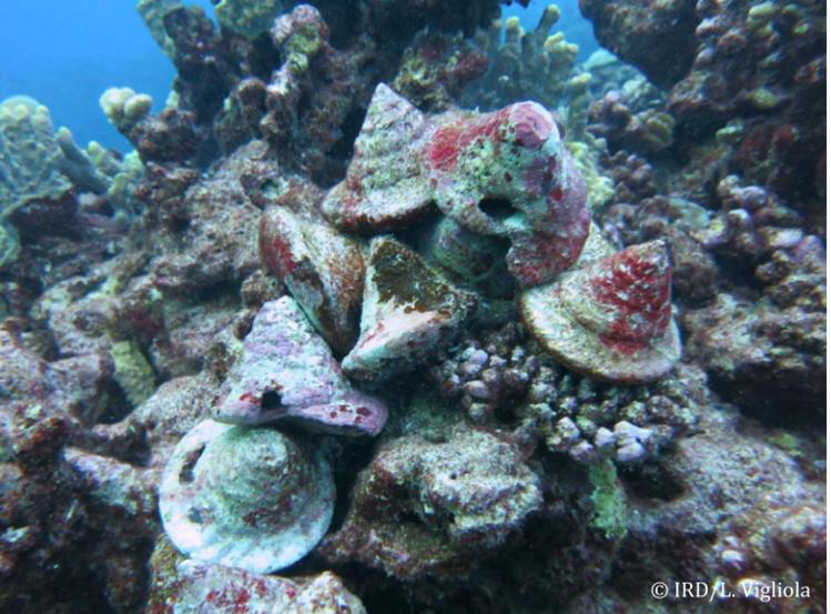 Les scientifiques ont plongé dans les eaux de Hao. Ils y ont trouvé douze coquilles de trocas. Toutes étaient vides avec un trou caractéristique de la consommation humaine.