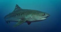 Un requin tigre