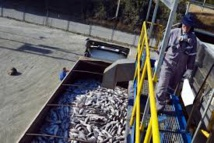Le saumon chilien dévasté par une prolifération d'algues