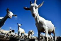 Quand le Pentagone voulait accoupler des chèvres étrangères en Afghanistan