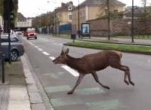 Un cerf en cavale capturé dans les rues de Rennes