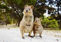 L'Australie forme des marsupiaux à éviter les crapauds toxiques