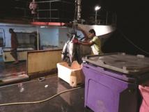 Déchargement de poissons à l'arrivée de thoniers au port de pêche de Papeete (Crédit photo : Lucie Rabréaud TPH)