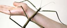 Le plus long insecte du monde : un phasme de plus de 60 centimètres.