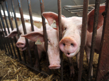 Les éleveurs de porcs veulent créer un centre de naissances contrôlées à Taravao